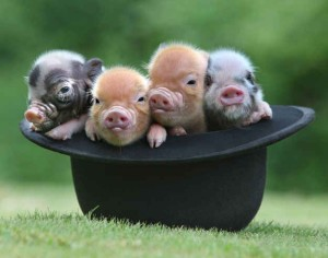 Advantages and Disadvantages to Pet Teacup Pigs